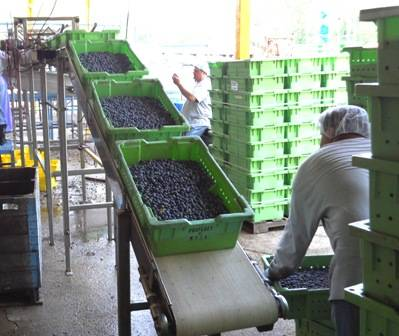 Oregon blueberry yield topples records, expands overseas