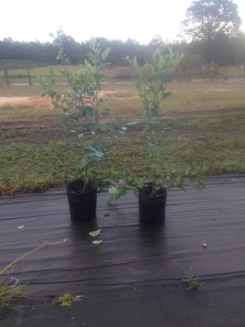 Plants – Blueberry Plants for sale